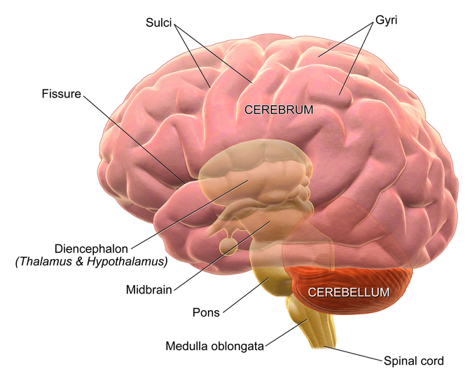 """an introduction to parts of the brain 24 thoughts on """" the smorgasbord health column – the organs of the body – the brain – part one – introduction and anatomy """" jjspina on march."""