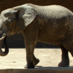 Elephant in the Church: Identifying Hindrances and Strategies for Discipleship