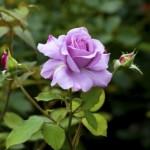 rose-1436213-m