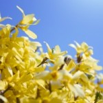 yellow-flowers-in-springtime-1445193-1-m