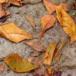 fallen-leaves-667975-m